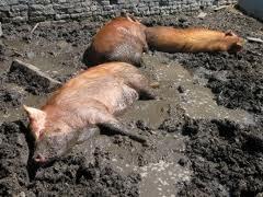 Pigs in mud.jpg