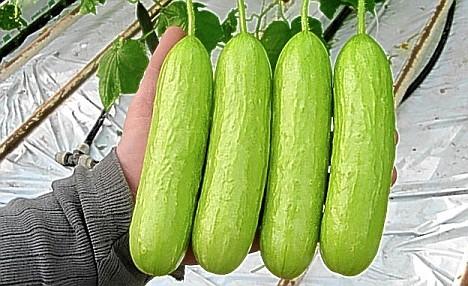cucumber contraband.jpg