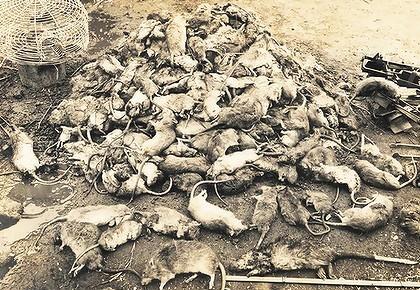 dead rats.jpg