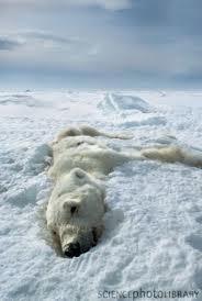 polar bear dead.jpg